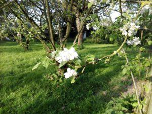 fleurs pommier